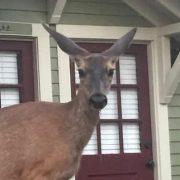 Deer at Wood Hamlet Picasso Suite